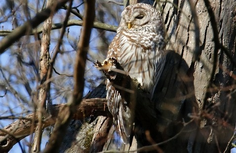 Barred Owl, photo by Jerry Byard