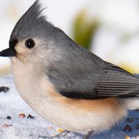 Backyard Bird Basics - Webinar