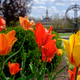 orange tulips with sundial and maccraken hall in background