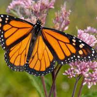 UT Arboretum Virtual Butterfly Festival
