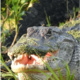 Photograph of an alligator by Holly Fuhrman Antony