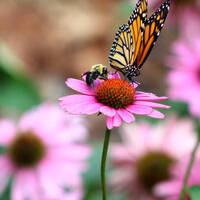 Ask a Master Gardener: Learn About Pollinators