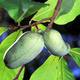 Learn at Home - Unusual Fruits to Consider for your Landscape
