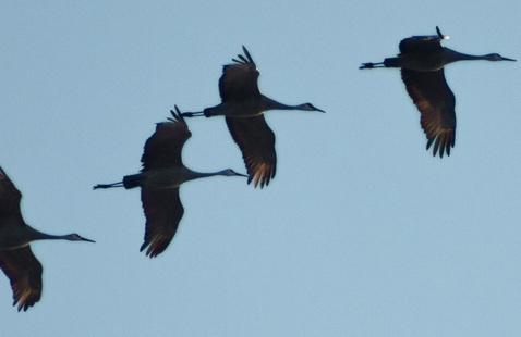 Four sandhill cranes in flight