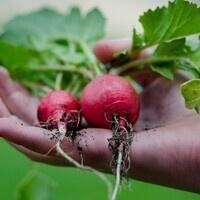 Vegetable Gardens Part I: Early Spring (Cold-Season) Vegetables