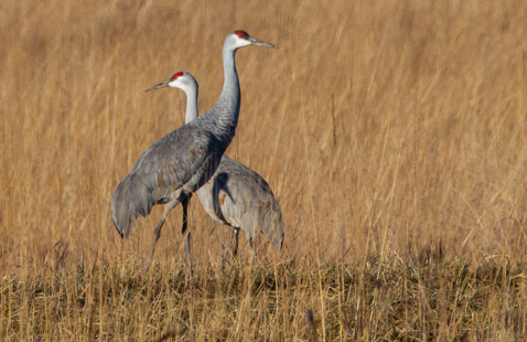 Sandhill Cranes at Goose Podn Fish & Wildlife Area
