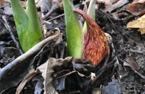 Blooming Skunk Cabbage @ Turkey Run State Park