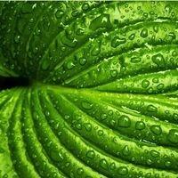 Closeup of a wet green leaf