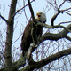 Virtual Bald Eagle Watch