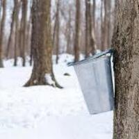 Virtual - Maple Sugaring