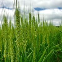 Small Grains Update