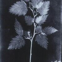 black and white botanical photograph