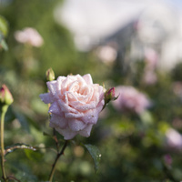 Rose Care Clinic: About a Dozen Things You Need to Grow Good Roses
