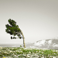 Lone tree blowing in the wind