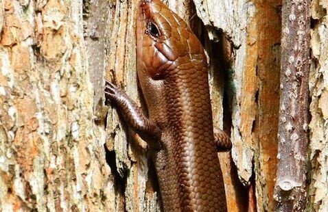 Broad Headed Skink, photo by Jerry Byard