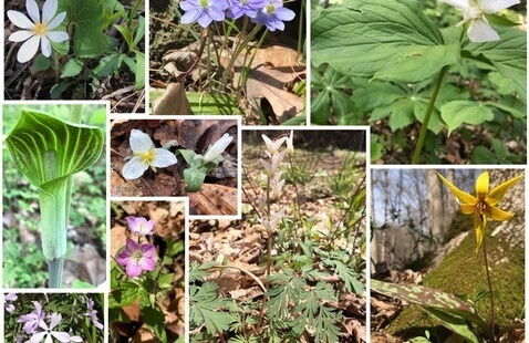 Indiana spring wildflower collage