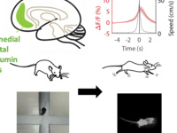 parvalbumin neurons in mice