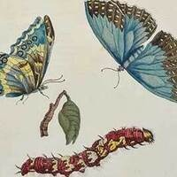"""""""Study of Butterflies, Caterpillar, Pupa, and Chrysalis"""", c. 1705, Maria Sibylla Merian, Hand-colored copperplate engraving, 2016.7.2."""