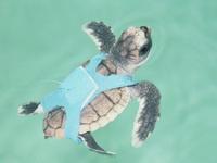 Sea Turtle; Photo credit: Kenneth Lohmann