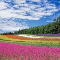 Rolling field of flowers under blue sky with clouds