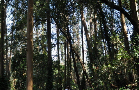 Trees in Mount Sutro with hiker
