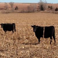 Cattle Conversations Series ONLINE THURSDAYS April 1 - 29