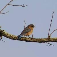 Wednesday Walk - Bluebirds