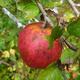 Pruning Wild Apple Trees
