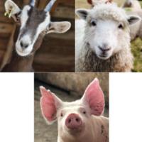 Goat Sheep Swine