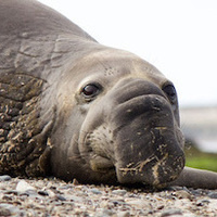 Elephant Seals at UCSC's Año Nuevo Reserve