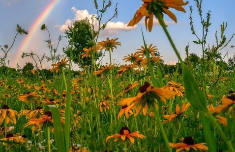 A rainbow shines over a field of wildflowers.