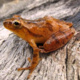 Spring Salamanders and Frogs