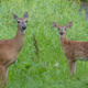 Deer are often sited during our walks through the park.