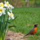 Robin and Daffodils