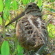 American Woodcock. Photo Credit: NC DPR, S. Willaims