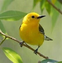 yellow wabler