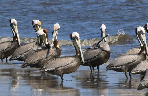 Strategic Habitat Conservation for the Brown Pelican: Estimating Habitat Objectives and Management Scenario Efficiencies