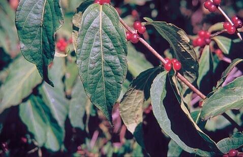 Amur Honeysuckle leaves and berries