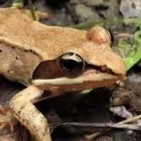 Frog Songs - Virtual Program