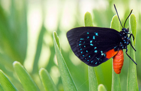 Atala Butterfly Resurgence at Lakeside Village  |  Earth Week