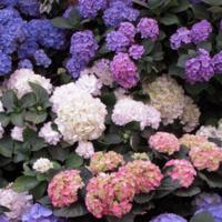 Tuesday Gardening Series: Hydrangeas
