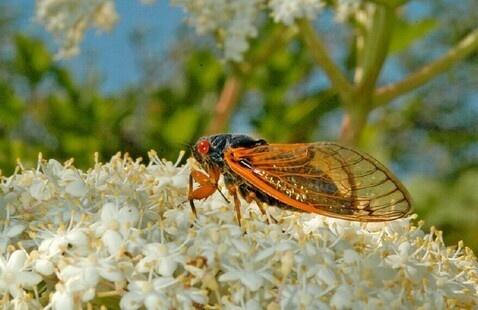 17-year Periodical Cicada