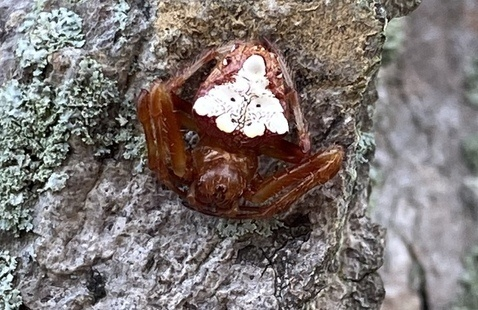 Arrowhead orbweaver on tree bark