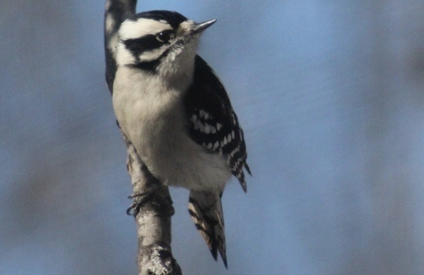 Downy Woodpecker on a limb