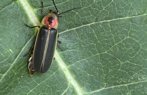 Photinus on a milkweed leaf