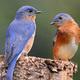 Eastern Blubirds