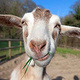 Image of cute goat eating grass