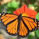 Hide N Seekers: Monarch Butterflies
