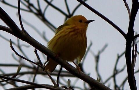 Yellow warbler, Pokagon State Park