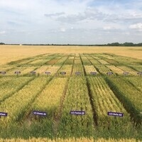 Sedgwick County Wheat Plot Tour